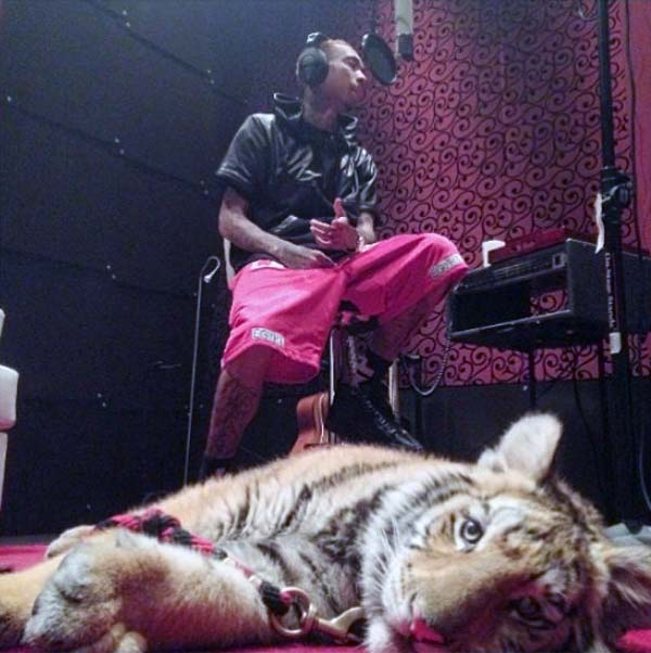 Tyga houses pet Tiger, gets confiscated by wildlife cops